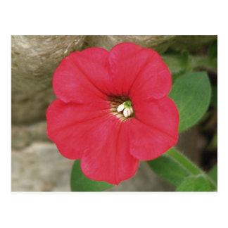 Rote Petunie Postkarte