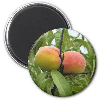 Rote Pfirsiche, die am Baum hängen. Toskana, Runder Magnet 5,1 Cm