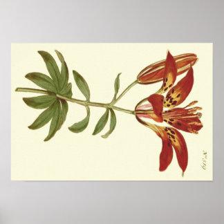 Rote Philadelphian Lilien-Illustration Poster