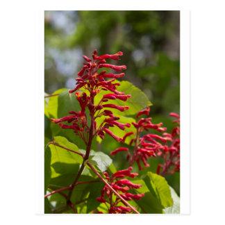 Rote Rosskastanien-Wildblumen - Aesculus Pavia Postkarte