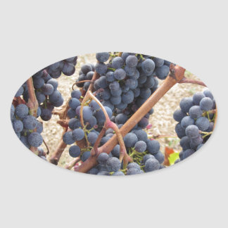 Rote Trauben auf der Rebe. Toskana, Italien Ovaler Aufkleber