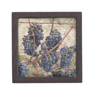 Rote Trauben auf der Rebe. Toskana, Italien Schachtel