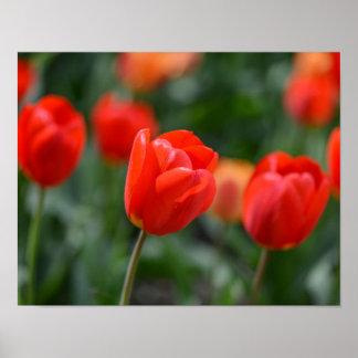 Rote Tulpen im Garten Poster