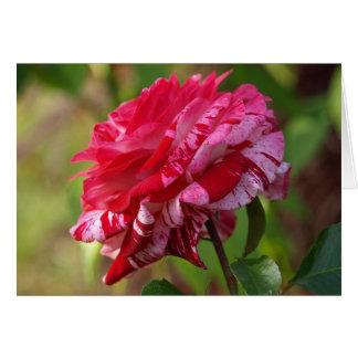 Rote u. weiße gestreifte Rose Karte