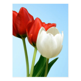Rote u. weiße Tulpen Postkarte