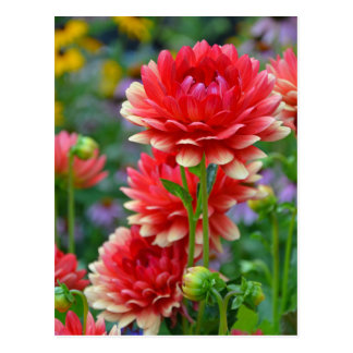 Rote und gelbe Dahlie-Blumen Postkarte