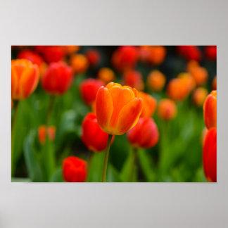 Rote und orange Tulpen im Garten Poster