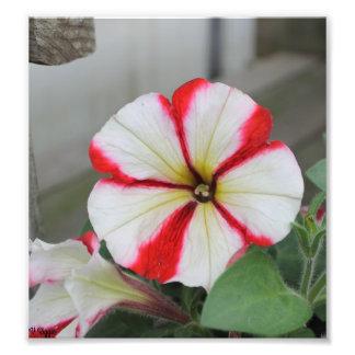 Rote und weiße calibrachoa Blume des Fotos - Fotodruck
