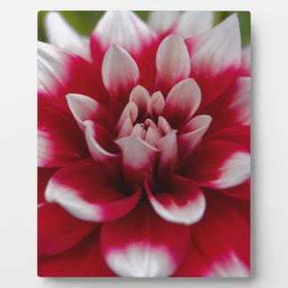 Rote und weiße Dahlie (Dahlie x hortensis) Fotoplatte