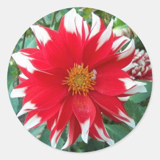 Rote und weiße Dalhia Blüte mit Blumen Runder Aufkleber