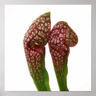 Rote und weiße mit Kapuze Krug-Pflanze Poster