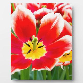 Rote weiße Tulpe auf dem Gebiet der Tulpen Fotoplatte