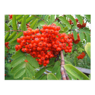 Roter Beeren-Baum in Skagway Alaska Postkarte