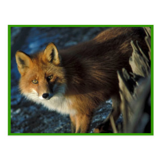 Roter Fox an Schiffbruch Courtney Ford Postkarte