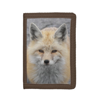 Roter Fox-Foto