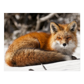 Roter Fox im Schnee Postkarte