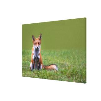 Roter Fox-Sitzen Leinwanddruck