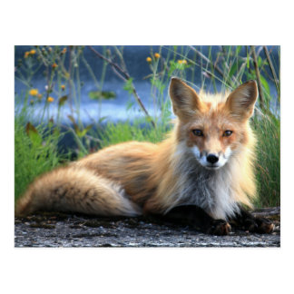 Roter Fox-Stillstehen Postkarte