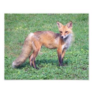 Roter Fox-Tier-Tierporträt-Fotografie Fotografien