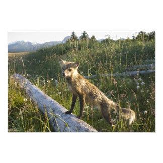 Roter Fox, Vulpes fulva auf Klotz, Wildblumen, 2 Fotodruck