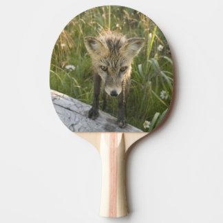 Roter Fox, Vulpes fulva auf Klotz, Wildblumen, Tischtennis Schläger