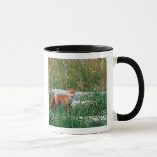 Roter Fox, Vulpes Vulpes, Alaska-Halbinsel, Tasse