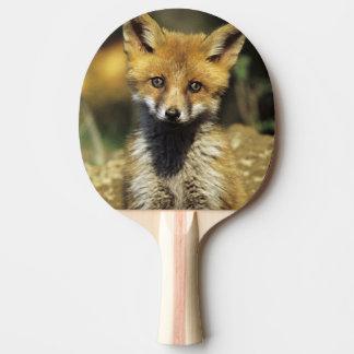 Roter Fox, Vulpes Vulpes, jung an der Höhle, Tischtennis Schläger