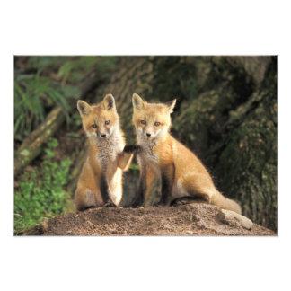 Roter Fox-Welpe vor Höhle Vulpes Vulpes) Fotografie