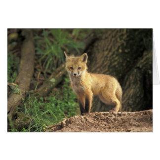 Roter Fox-Welpe vor Höhle (Vulpes Vulpes) Karte
