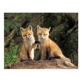 Roter Fox-Welpe vor Höhle Vulpes Vulpes) Postkarte