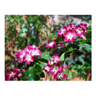 Roter Frühlings-Weißdorn Postkarte