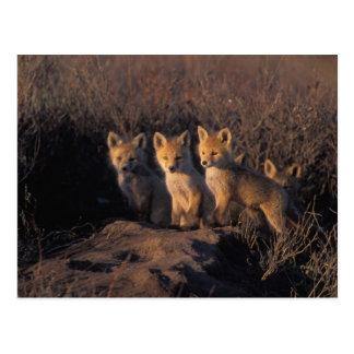 roter Fuchs, Vulpes Vulpes, Ausrüstungen außerhalb Postkarte