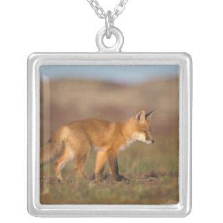 roter Fuchs, Vulpes Vulpes, entlang der Zentrale Versilberte Kette