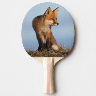 roter Fuchs, Vulpes Vulpes, im 1002 Bereich von Tischtennis Schläger