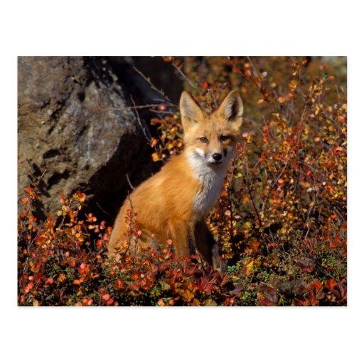 roter Fuchs, Vulpes Vulpes, in den Herbstfarben en Postkarte