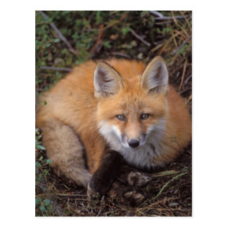 roter Fuchs, Vulpes Vulpes, in den Herbstfarben Postkarte