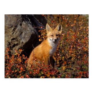 roter Fuchs, Vulpes Vulpes, in den Herbstfarben Postkarten