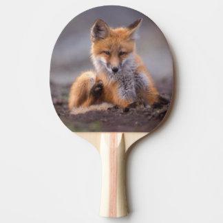 roter Fuchs, Vulpes Vulpes, Welpe, der sich Tischtennis Schläger