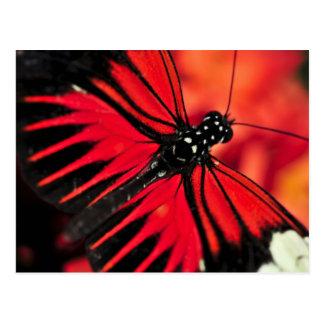 Roter heliconius dora Schmetterling Postkarte
