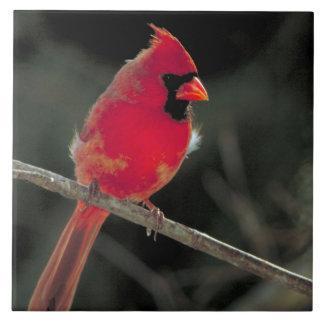 Roter Kardinal gehockt auf einer Keramikfliese