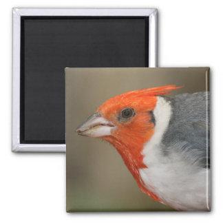Roter Kardinal mit Haube Quadratischer Magnet