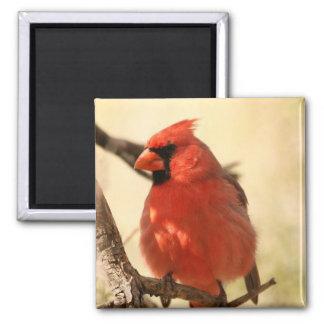 Roter Kardinals-Magnet Quadratischer Magnet