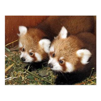 Roter Panda Postkarte
