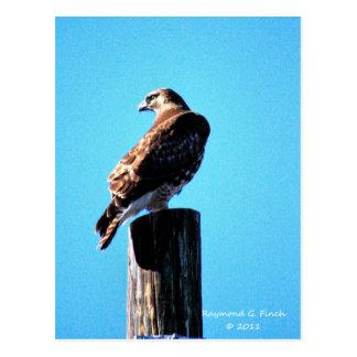 Roter Schwanz-Falke - Postkarte