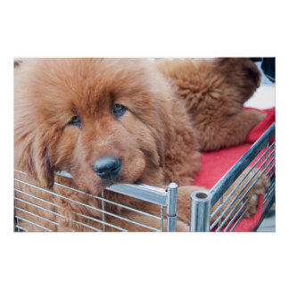 Roter tibetanischer Mastiff Plakate