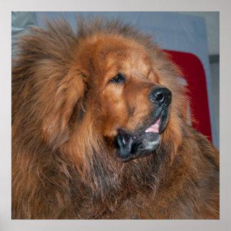 Roter tibetanischer Mastiff Poster
