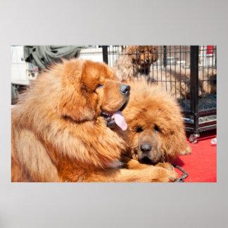 Roter tibetanischer Mastiff Posterdruck
