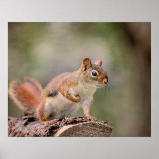 rotes Eichhörnchen 20x16 Poster