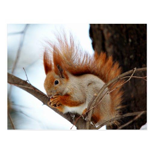 Rotes Eichhörnchen im Winter-Pelz Postkarte