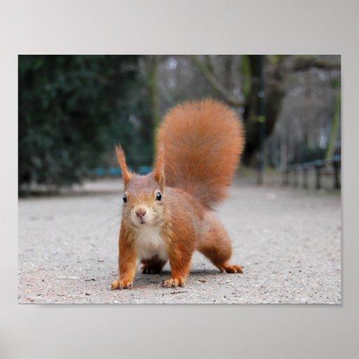Rotes Eichhörnchen Plakate